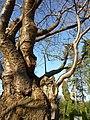 Baum am Friedhof in Grohn - panoramio.jpg