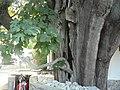 Bayır Köyü Selvi içinde İncir Ağacı - panoramio.jpg