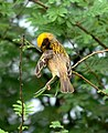 Baya Weaver Ploceus philippinus male Breeding plumage by Dr. Raju Kasambe DSC 5420 (18).jpg