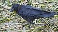 Beady eyed crow (9818553503).jpg