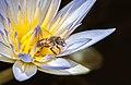 Bee in Loto in Botanical Garden of São Paulo.jpg