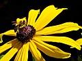 Bee on Heliopsis 2.jpg