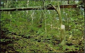 Beech bark disease - Image: Beech snap