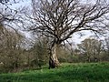 Beech tree - geograph.org.uk - 408751.jpg