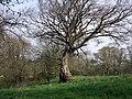 Beech tree - geograph.org.uk - 408751.jpg