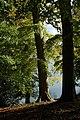 Beech trees in Blenheim Park - geograph.org.uk - 1016383.jpg