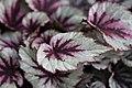 Begonia (28).jpg