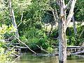 Belted kingfisher - Flickr - brewbooks (2).jpg