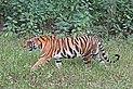 Bengal tiger (Panthera tigris tigris) female.jpg