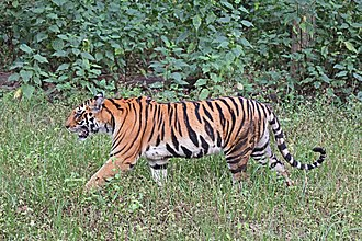 Bengal tiger - Female Bengal tiger in Kanha Tiger Reserve
