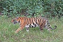 Begnal Tiger