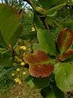 Berberis vulgaris2.jpg
