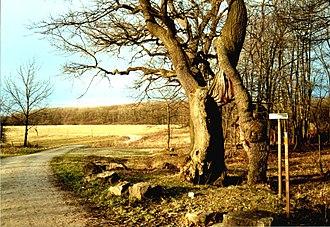 Hainich - Betteleiche is the landmark of Hainich