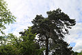 Betts Lane and Common Road junction tree at Nazeing, Essex, England 04.JPG