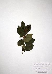 Betula alleghaniensis BW-1979-0612-9996.jpg