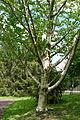 Betula maximowicziana - Morris Arboretum - DSC00358.JPG