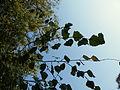 Betula pendula (23).JPG