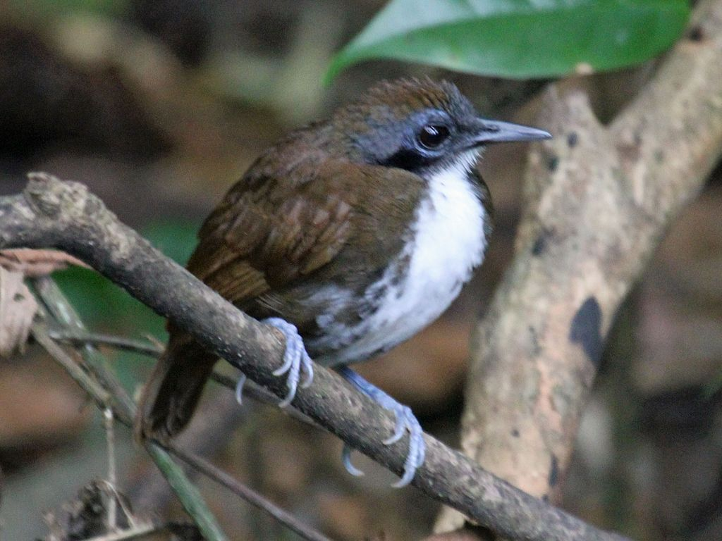 Listen to a new species of antbird! – Macaulay Library