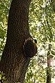 Bienen-Nest an einem Baumstamm.JPG