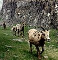 Bighorn Ewes (2599260096).jpg