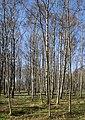 Birch forest Gullmarsskogen 1.jpg