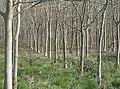 Birch plantation - geograph.org.uk - 978111.jpg