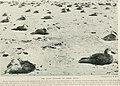 Bird-lore (1918) (14563926137).jpg
