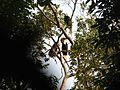 Bird Wreathed Hornbill Rhyticeros undulatus IMG 9195 (6).jpg