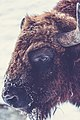 Bison in the winter (Unsplash).jpg