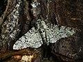 Biston betularia - Peppered moth - Пяденица берёзовая (40879649422).jpg