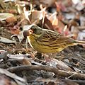 Black-faced Bunting with an acorn.jpg