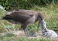 Black-footed albatross feeds chick (7123152911).jpg
