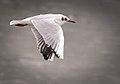 Black-headed gull (32539109901).jpg