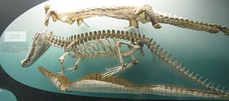 Crocodilia - Mounted skeleton and skins of black caiman