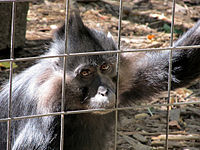 Black Crested Mangabey 2.jpg
