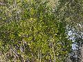 Black Mangrove (5386281241).jpg