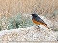 Black Redstart (Phoenicurus ochruros) (49271371482).jpg