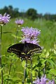 Black Swallowtail Butterfly (28283722255).jpg