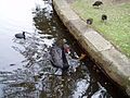 Black Swan and rails at Centennial Park, Sydney.jpg