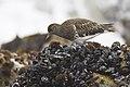 Black Turnstone (Arenaria melanocephala) Morro Bay, CA (2164090463).jpg