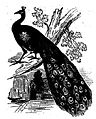 Black and White Peacock Drawing.jpg