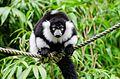 Black and white Ruffed Lemur (21918862593).jpg