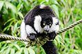 Black and white Ruffed Lemur (22540003635).jpg