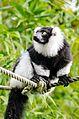 Black and white Ruffed Lemur (24423485244).jpg