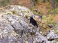 Black bear at Christina Lake.JPG