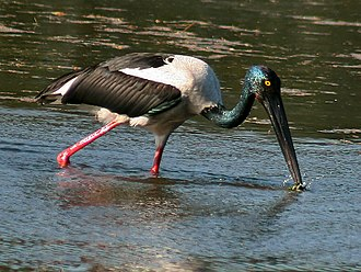 Black-necked stork - A female foraging (Bharatpur, India)