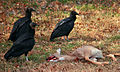 Black vultures over deer carcass.jpg
