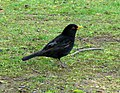 Blackbird, Ward Park - geograph.org.uk - 791405.jpg