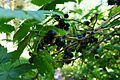 Blackcurrants (5980340373).jpg