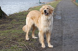 Blond Hovawart female (10months).JPG